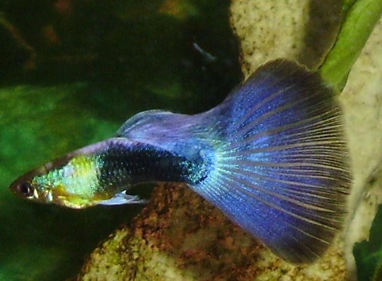 Guppy Macho Selecto Azul Neon