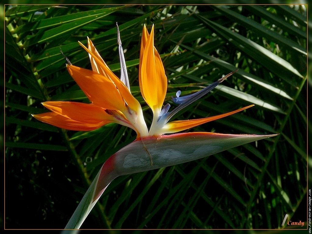 Fleur Oiseau Paradis 1