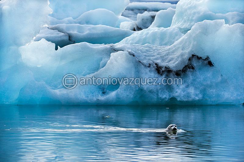 Foca gris e icebergs en el lago del glaciar Jökulsárlon