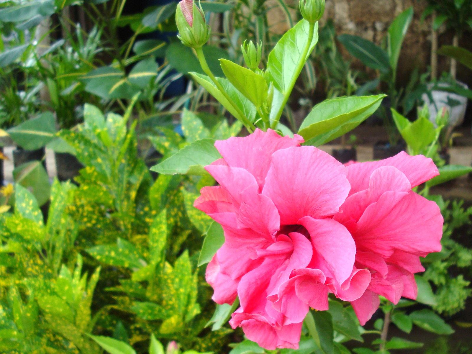 Hibiscus Pink Dsc01670