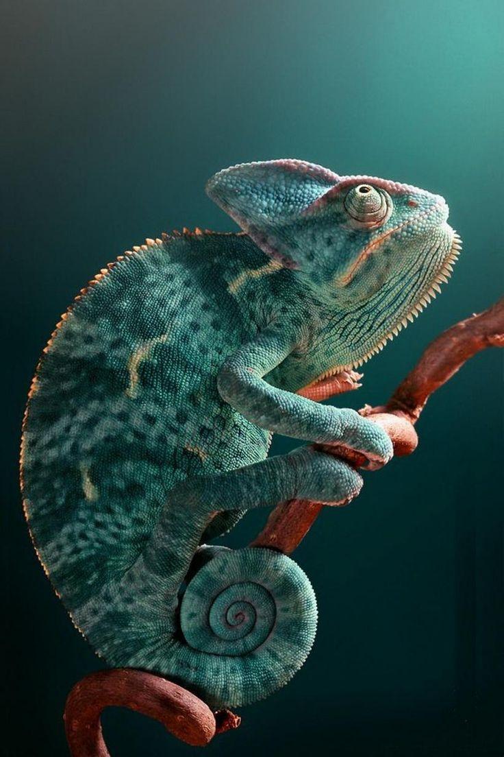 5 Chamaeleonidae Site Beqbe