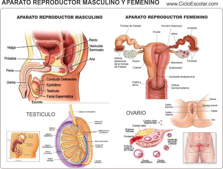 Aparato reproductor masculino - beQbe