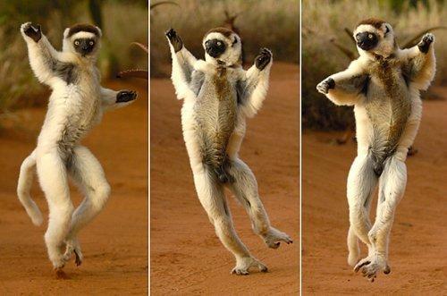 Lemur Sifaka Coronado