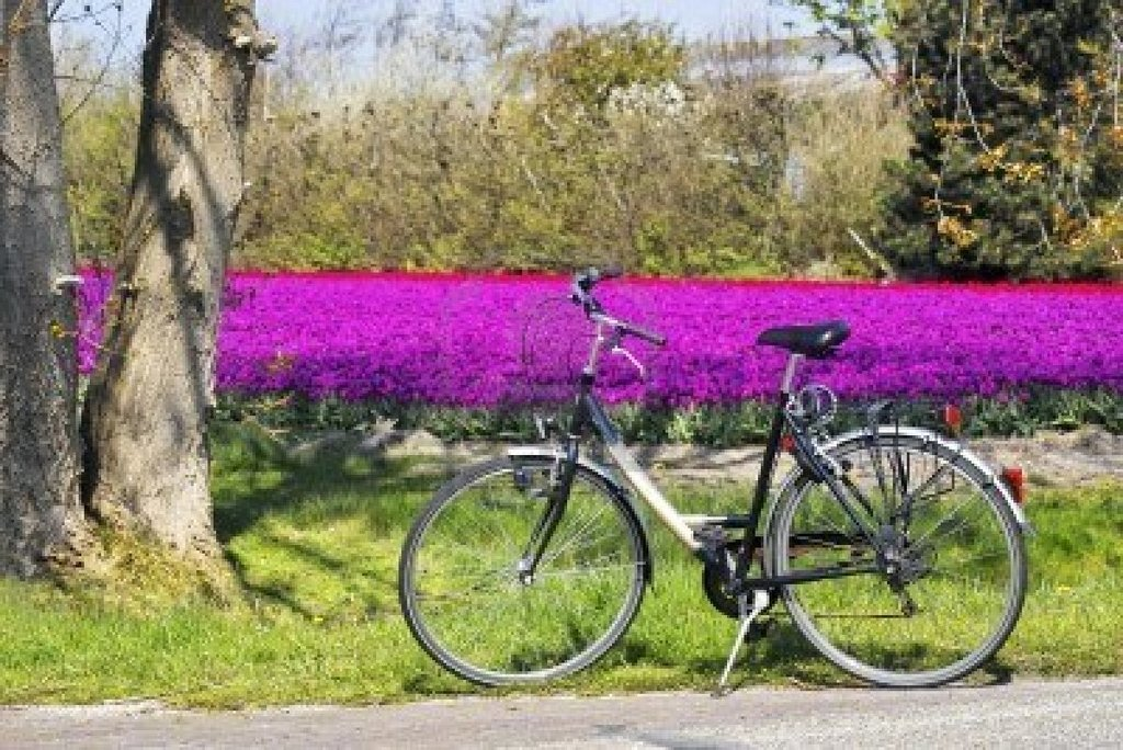 5243560 De Bicicletas Estacionadas En Frente De Un Campo De Tulipanes Purpura