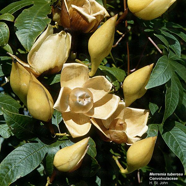 merremia tuberosa fruits