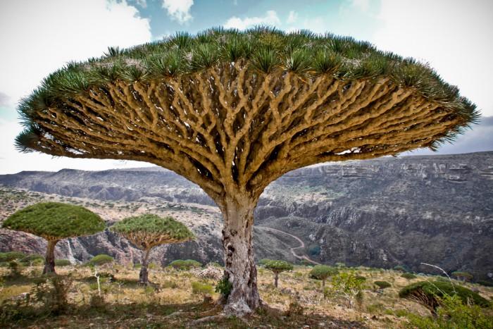 Arbol Dragon Socotra Yemen 1437328769lc48p 700x467