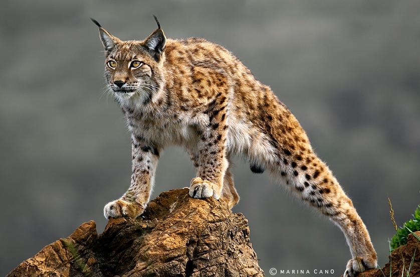 Lynx- beqbe.com