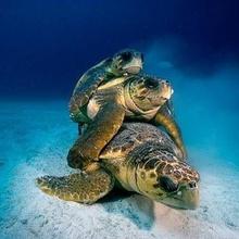 Sobre las tortugas Baulas