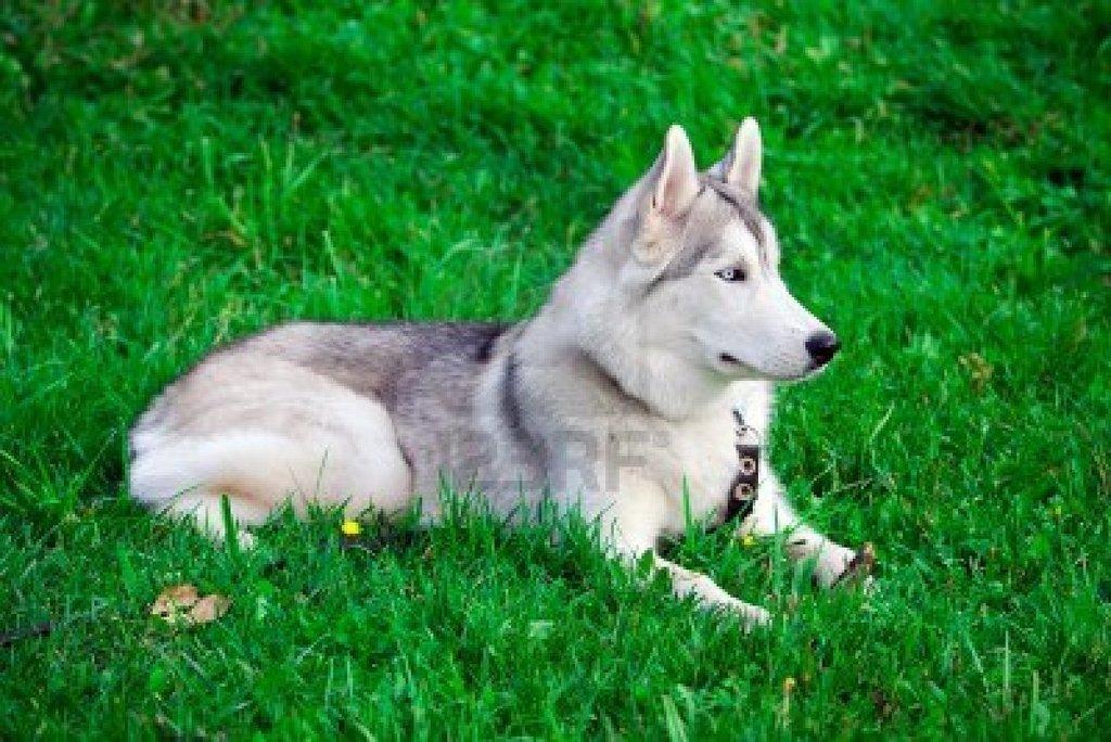 7947789 Retrato De Un Joven Perro De Husky Siberiano De Ojos Azules Jpg