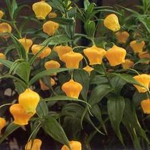 Chinese Lantern Lily