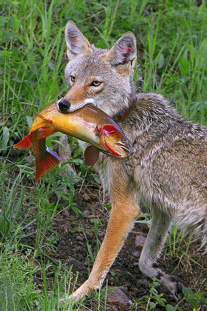 Le renard roux - www.beqbe.com