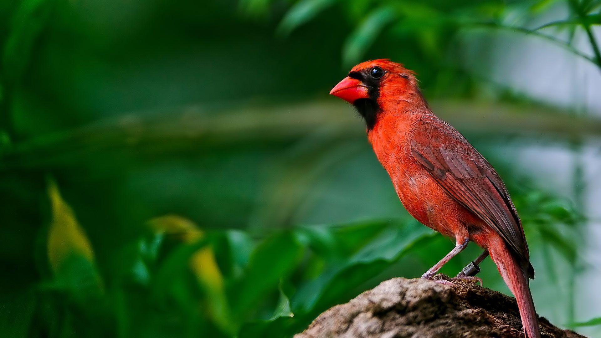 Le cardinal rouge © Tambako the Jaguar