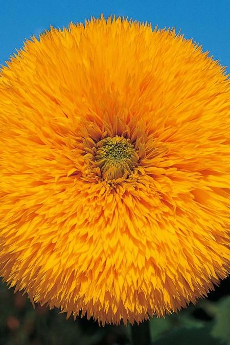 Helianthus hybridus_Double Quick Orange