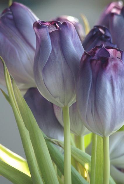 Tulipes Liles