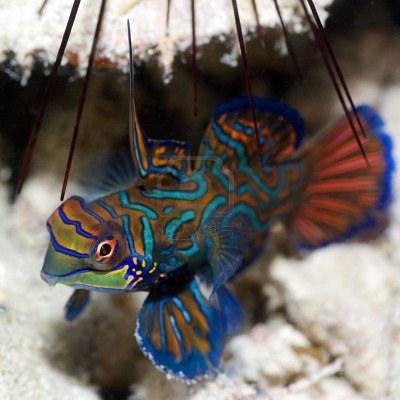 3098105 Les Petits Poissons Tropicaux Mandarinfish Close Up Sipadan C L Bes Mer